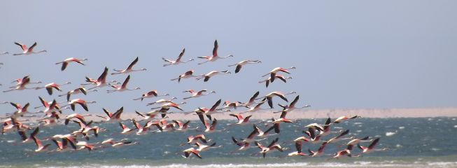 Flamants roses_1